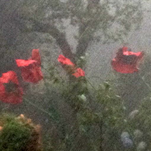 giant poppies during hail storm